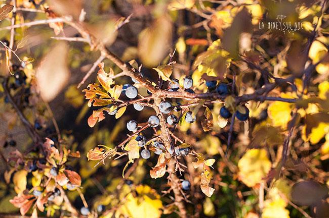 bobite-albastre