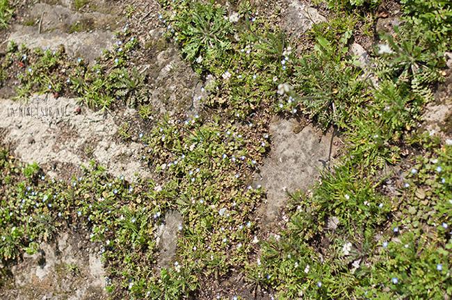 flori-printre-pietre